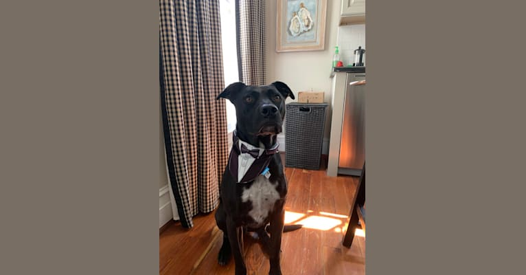 Photo of Kano, an American Pit Bull Terrier and Great Pyrenees mix in Baton Rouge, Louisiana, USA