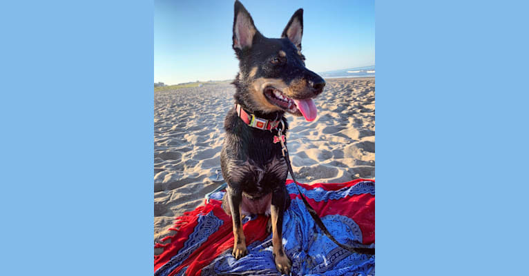 Photo of Leila, a Shiba Inu, Labrador Retriever, and Australian Cattle Dog mix in Washington, District of Columbia, USA