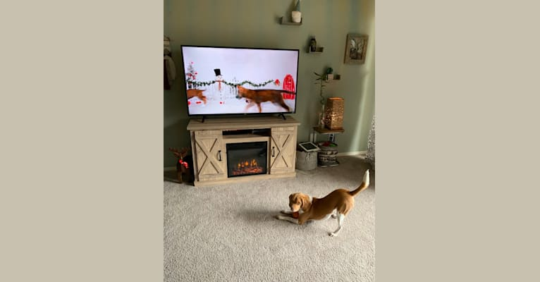 Photo of Chewy, a Beagle  in Baltimore, Maryland, USA