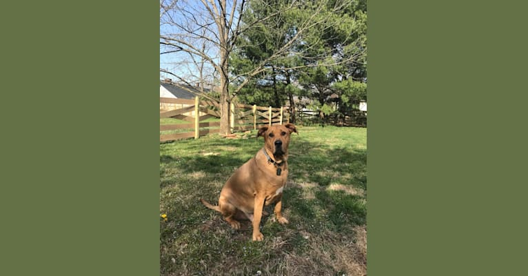 Photo of Baloo, an American Pit Bull Terrier, Bloodhound, Boxer, and Chow Chow mix in Remington, Virginia, USA