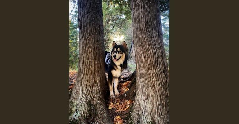 Photo of Kodiak (Koda), a Siberian Husky and Mixed mix in Rochester, Minnesota, USA