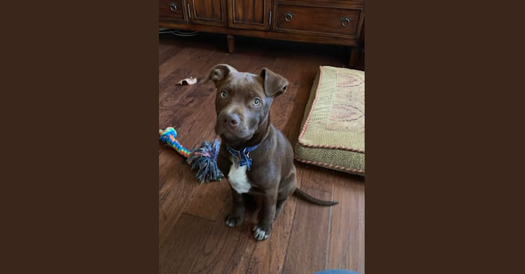 Photo of Guinness, an American Pit Bull Terrier, American Staffordshire Terrier, Siberian Husky, and Mixed mix in Augusta, Georgia, USA
