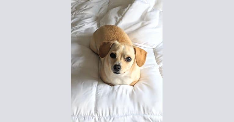 Photo of Leia, a Cocker Spaniel, Chihuahua, Maltese, and Miniature Pinscher mix in California, USA