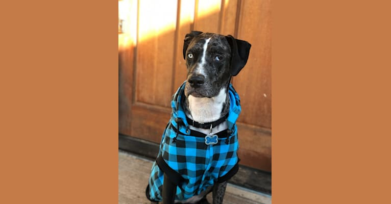Photo of Kona, a Catahoula Leopard Dog  in Hillsboro, Oregon, USA