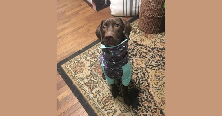Photo of Manny, an English Springer Spaniel, German Shorthaired Pointer, and Pug mix in Baltimore, Maryland, USA