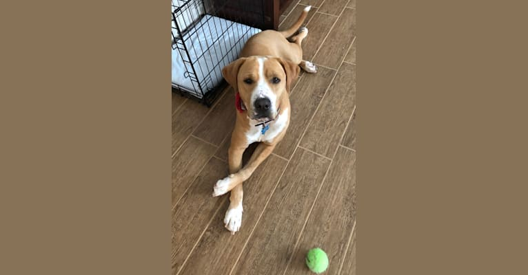 Photo of Byron, an American Pit Bull Terrier, Labrador Retriever, American Staffordshire Terrier, and Great Pyrenees mix in Texas, USA