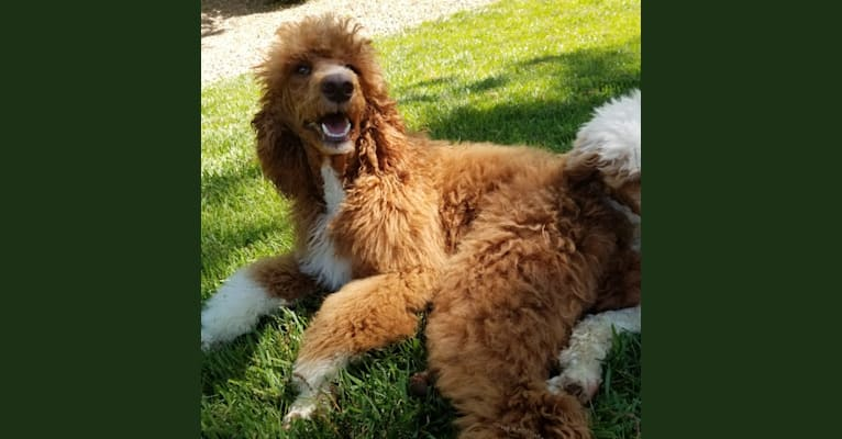 Photo of Ginger, a Poodle (Standard)  in Nixa, Missouri, USA