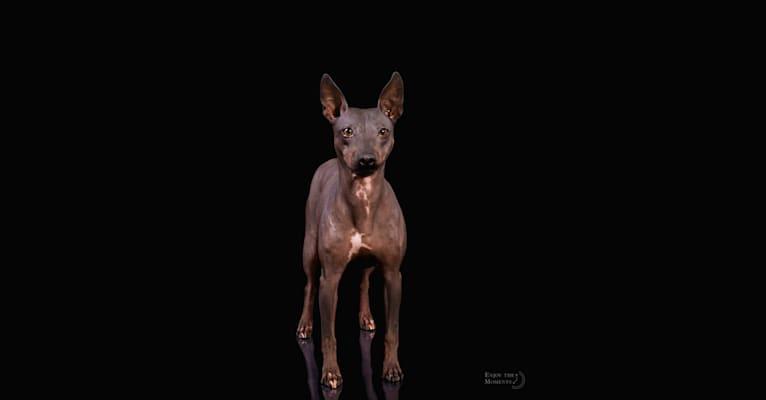 Photo of Siren, an American Hairless Terrier