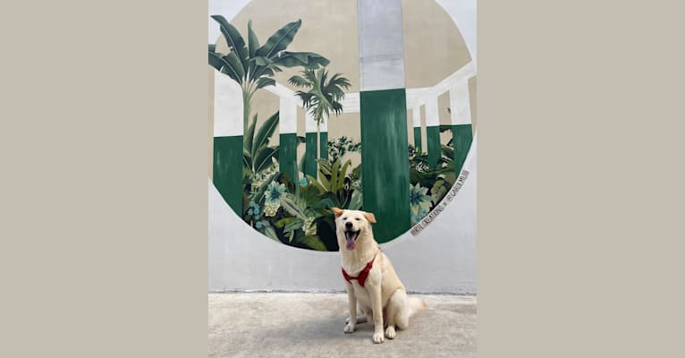 Photo of Gum Juu, a Hong Kong Village Dog  in Kowloon, Hong Kong