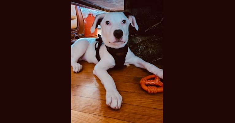 Photo of Hiro, an American Pit Bull Terrier, Treeing Walker Coonhound, Border Collie, Australian Shepherd, and American Staffordshire Terrier mix in Florida, USA