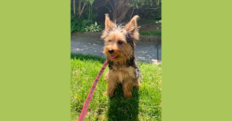 Photo of Shuggie, a Silky Terrier  in Seneca Falls, NY, USA