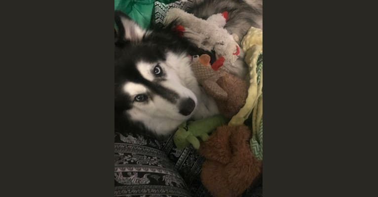 Photo of Ollie, a Siberian Husky, Samoyed, and Mixed mix in Aurora, Colorado, USA