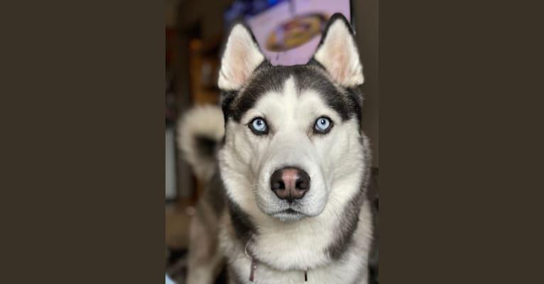 Photo of Oakley, a Siberian Husky  in Waucoma, Iowa, USA