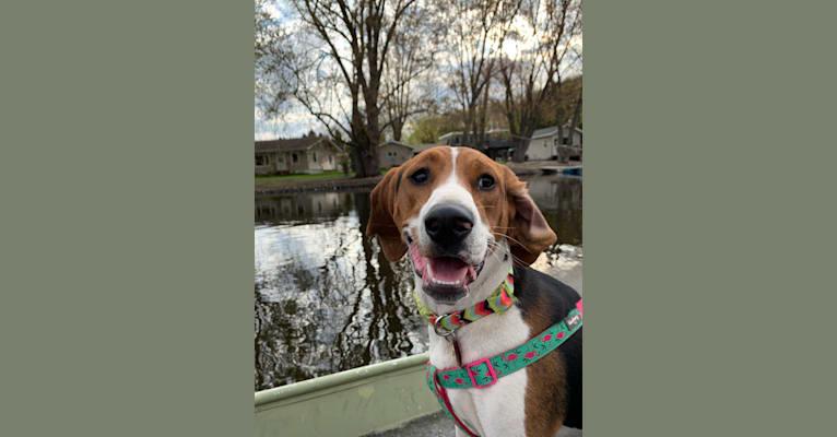 Photo of Luna, a Treeing Walker Coonhound  in Bear Creek, Wisconsin, USA