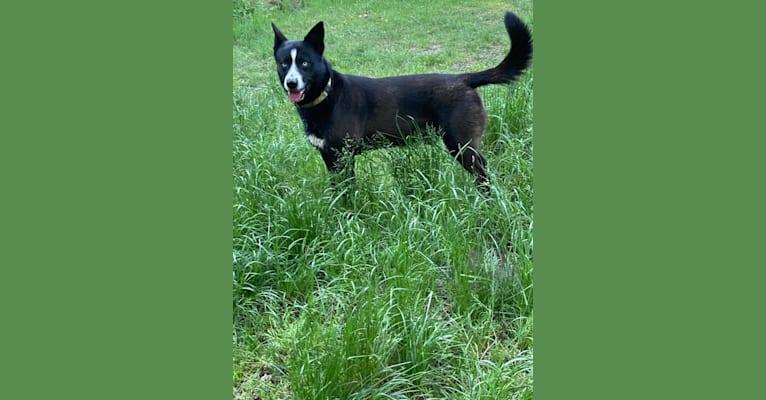 Photo of Takoda, an Alaskan-type Husky, Siberian Husky, and Australian Cattle Dog mix in Wilhelminaoord, Nederland