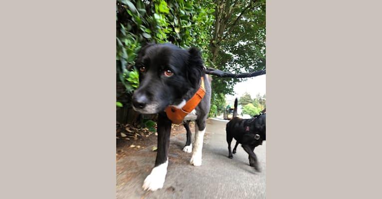 Photo of Joey, a Border Collie, German Shepherd Dog, and Chow Chow mix in Yakima, WA, USA