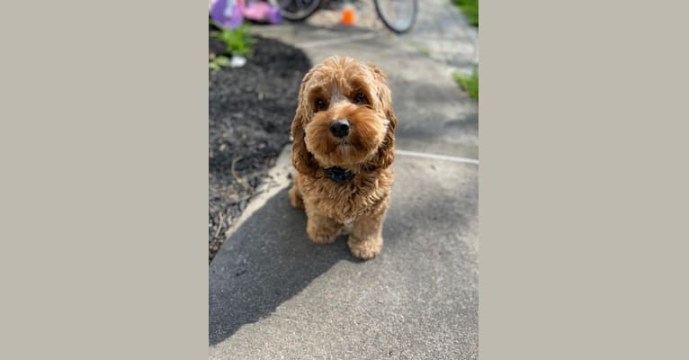 Photo of Lucy, a Cockapoo (4.2% unresolved) in Effort, Pennsylvania, USA