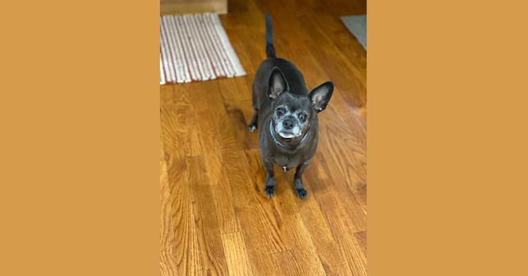 Photo of Lilly Laquidara, a Chihuahua, Miniature Pinscher, and Japanese Chin mix in Mahopac, New York, USA