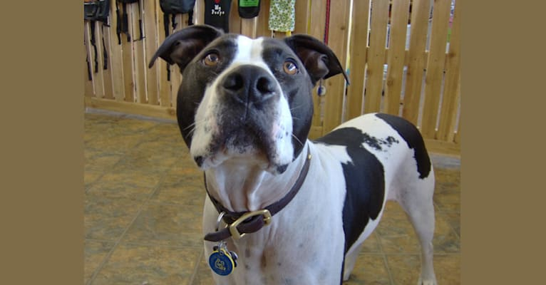 Photo of Lars, an American Pit Bull Terrier and American Staffordshire Terrier mix in Kalispell, Montana, USA