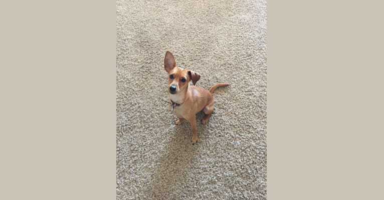 Photo of Jack, a Miniature Pinscher, Poodle (Small), and Mixed mix in Tempe, Arizona, USA