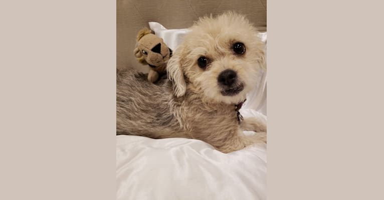 Photo of Holly, a Poodle (Small), Yorkshire Terrier, Chihuahua, and Shih Tzu mix in San Dimas, California, USA