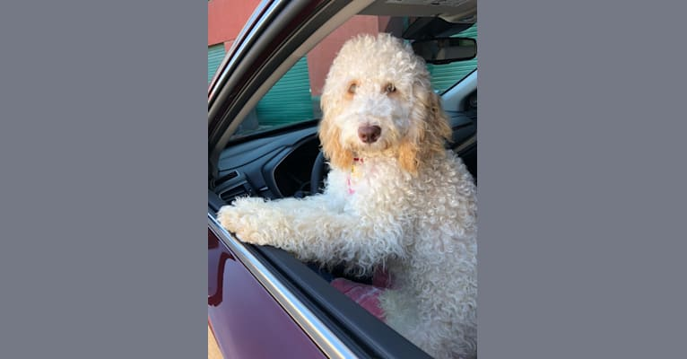 Photo of Quigley McCormick, a Poodle (Standard) and Poodle (Small) mix in Gig Harbor, Washington, USA