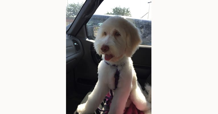 Photo of Callie Jo, a Goldendoodle