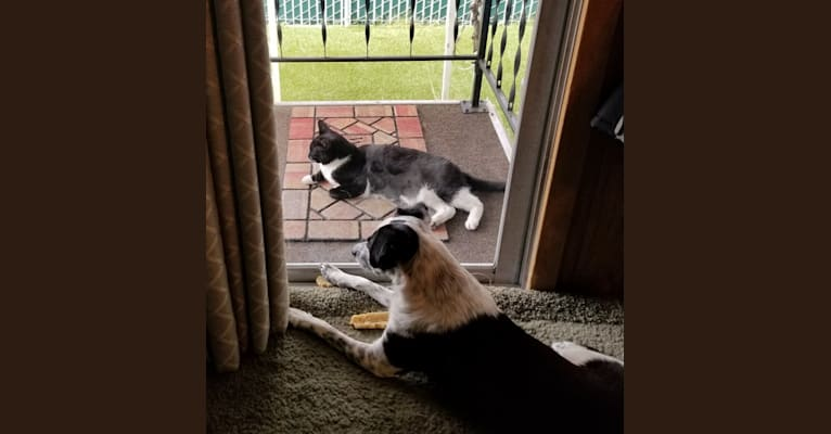 Photo of Echo, a Chihuahua, Poodle (Small), Australian Cattle Dog, Boxer, German Shepherd Dog, and Labrador Retriever mix in San Jose, California, USA