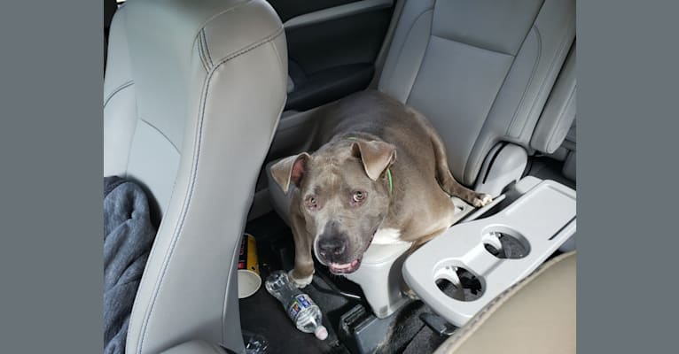 Photo of Yoshi, an American Pit Bull Terrier and American Staffordshire Terrier mix in Ohio, USA