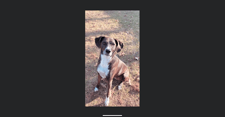 Photo of Hannah, a Mountain Cur  in North Little Rock, Arkansas, USA