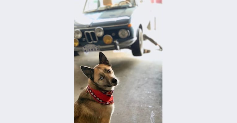 Photo of Charlie Wyatt, a Siberian Husky and Australian Cattle Dog mix in Portland, Oregon, USA