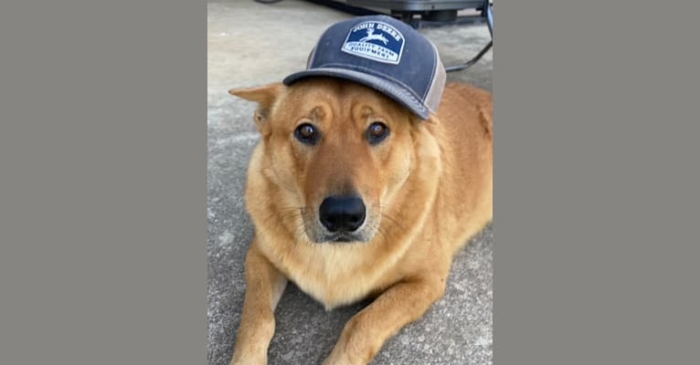 Photo of Fozzie Bear, a Chow Chow, German Shepherd Dog, American Pit Bull Terrier, Golden Retriever, and Mixed mix in Texas, USA