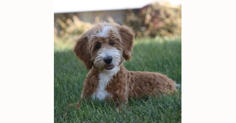 Photo of Wesson, a Poodle (Small) and Poodle (Standard) mix