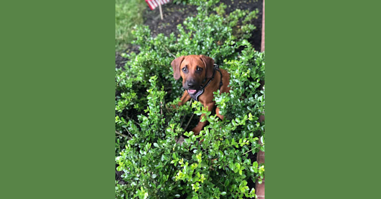 Photo of Jack, an American Pit Bull Terrier, Beagle, and Treeing Walker Coonhound mix in Tennessee, USA