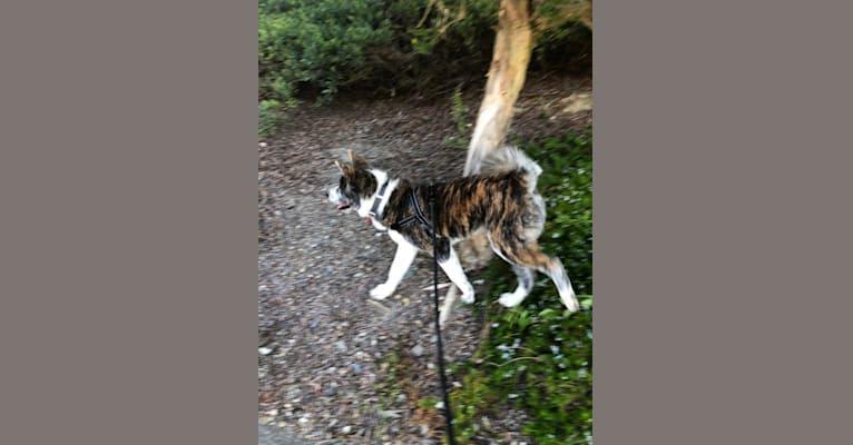 Photo of Toby, an Akita Inu  in California, USA