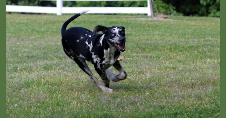Photo of Delphine, a Catahoula Leopard Dog  in North Dakota, USA