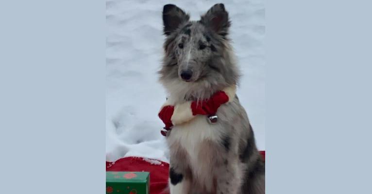 Photo of Juice, a Shetland Sheepdog  in Colorado Springs, Colorado, USA