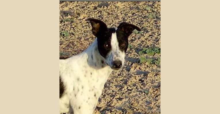 Photo of Bo, a Border Collie, Whippet, Border Terrier, and Russell-type Terrier mix in Pahrump, NV, USA