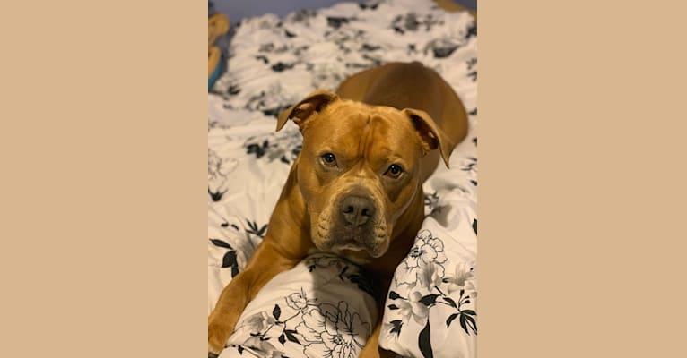 Photo of Kobe, an Olde English Bulldogge, American Bulldog, American Pit Bull Terrier, and American Staffordshire Terrier mix