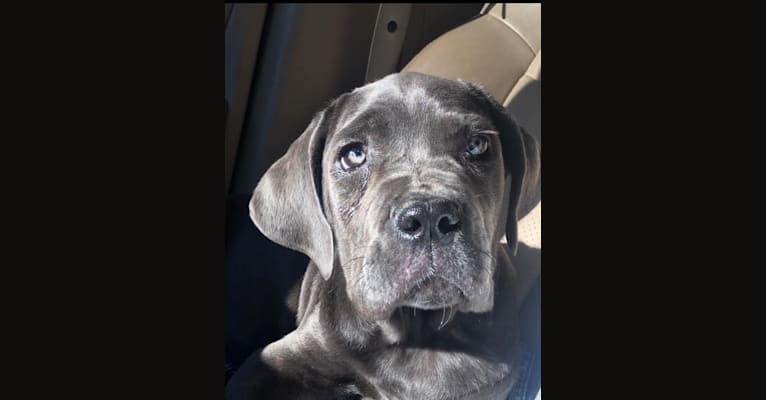 Photo of Boots, a Neapolitan Mastiff (6.6% unresolved) in USA