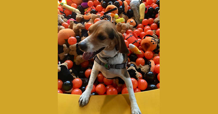 Photo of Tuck, a Beagle  in New York, New York, USA