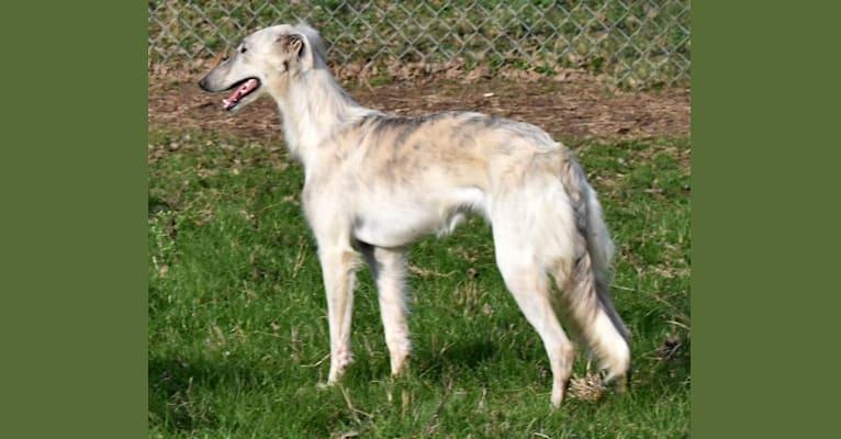 Photo of Krugerrand, a Silken Windhound  in Kristull Ranch, Grelle Lane, Austin, TX, USA
