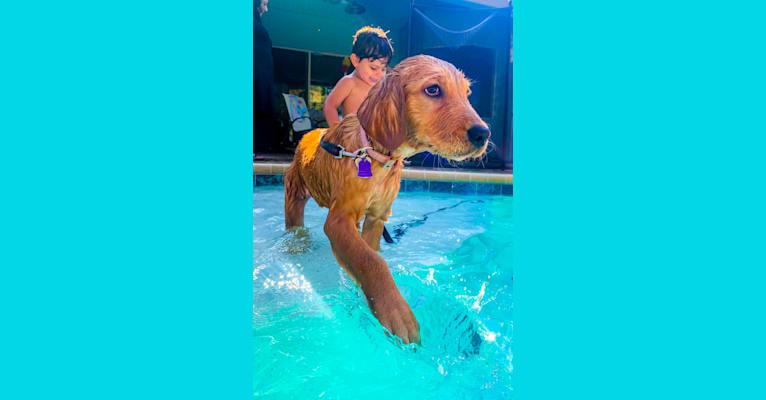 Photo of Emmie, a Golden Retriever  in Jacksonville, FL, USA