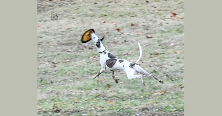 Photo of Ichabod, a Whippet  in Shelbyville, Kentucky, USA