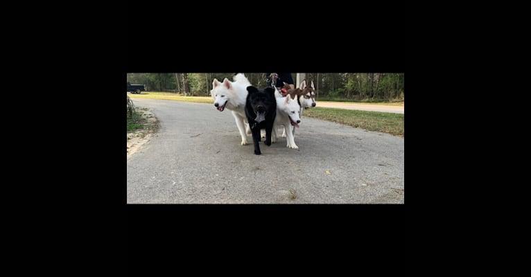 Photo of Azabache, a Chow Chow, Labrador Retriever, and Dalmatian mix