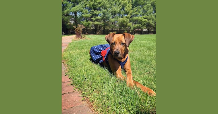 Photo of Grace, a Great Dane, Staffordshire Terrier, and Bloodhound mix in New Jersey, USA