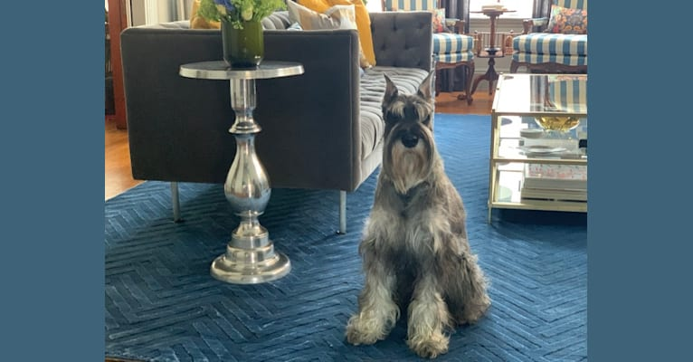 Photo of Alfred, a Standard Schnauzer  in Maryland, USA
