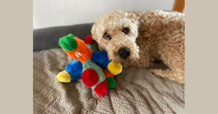 Photo of Carl, a Soft Coated Wheaten Terrier  in Bellmore, New York, USA