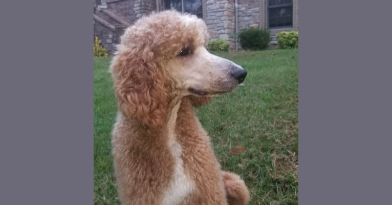 Photo of Thorn, a Poodle (Standard)