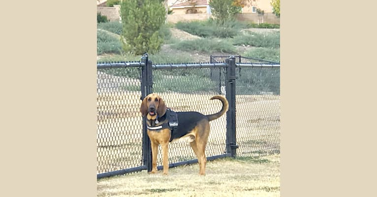 Photo of Indio, a Bloodhound